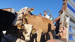 12 genç çiftçiye 60 adet büyükbaş hayvan dağıtıldı