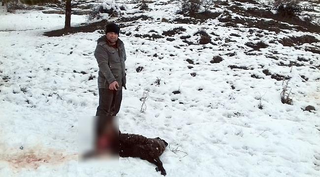 Aç kurt şehre inerek bir koyunu telef etti