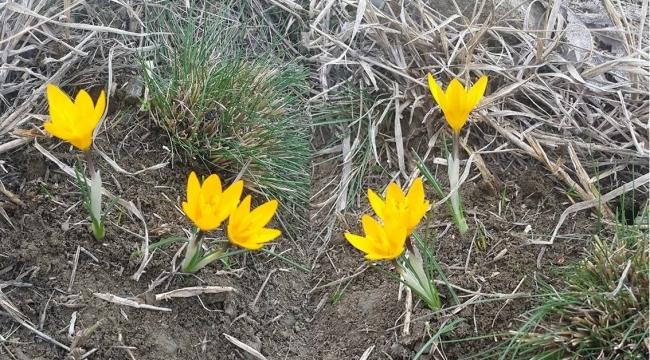 Baharın müjdecisi çiğdemler çıkmaya başladı