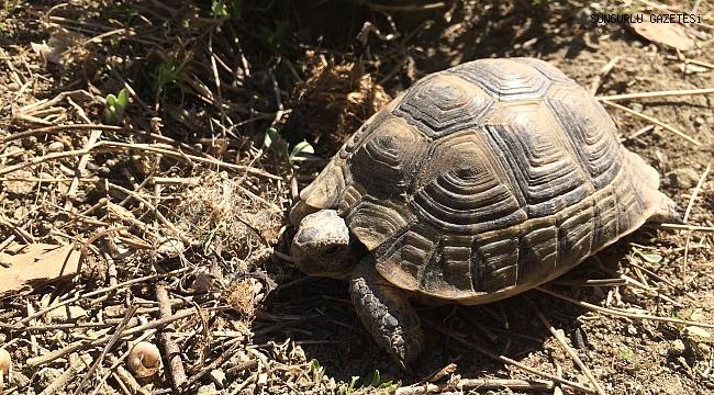 Kaplumbağalar kendini göstermeye başladı